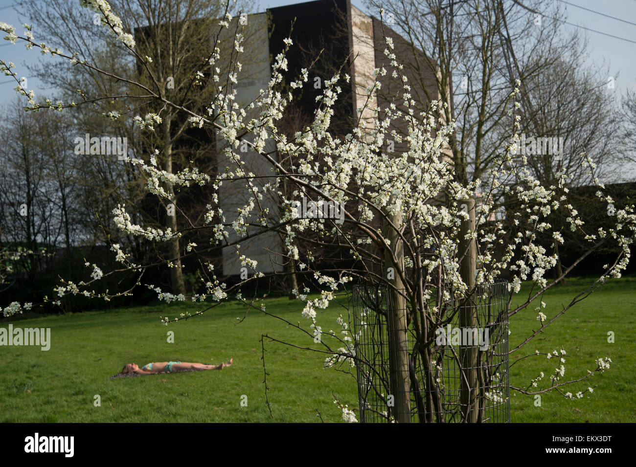 Hackney Spring 2015. Sunbather in urban setting with and spring blossom, Millfields Park - Stock Image