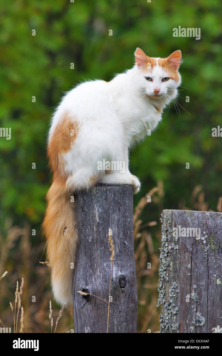 Cat on a fencepost - Stock Image