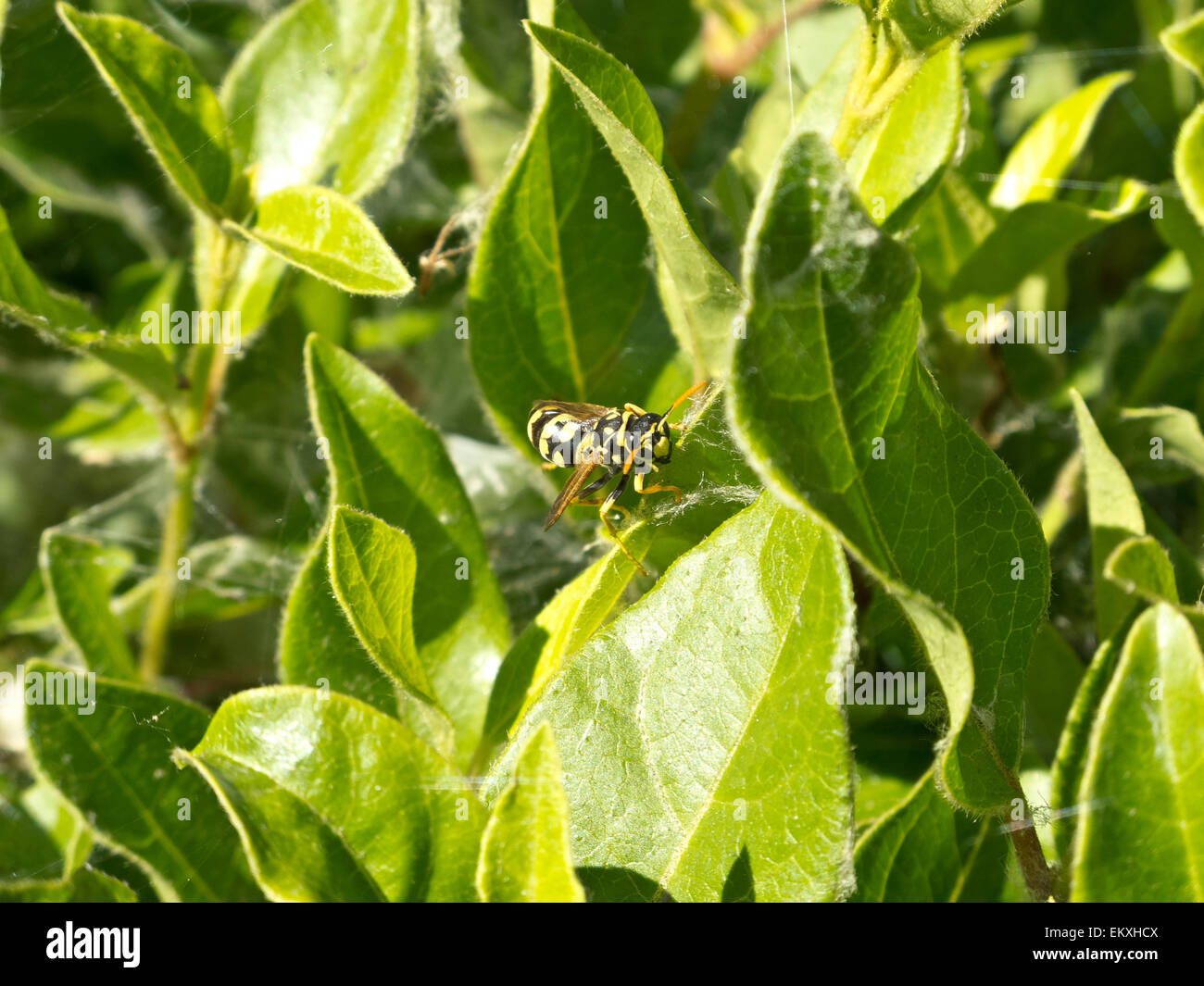 A common wasp perched on the green leaves of a bush on a sunny day, Cáceres, Spain. - Stock Image