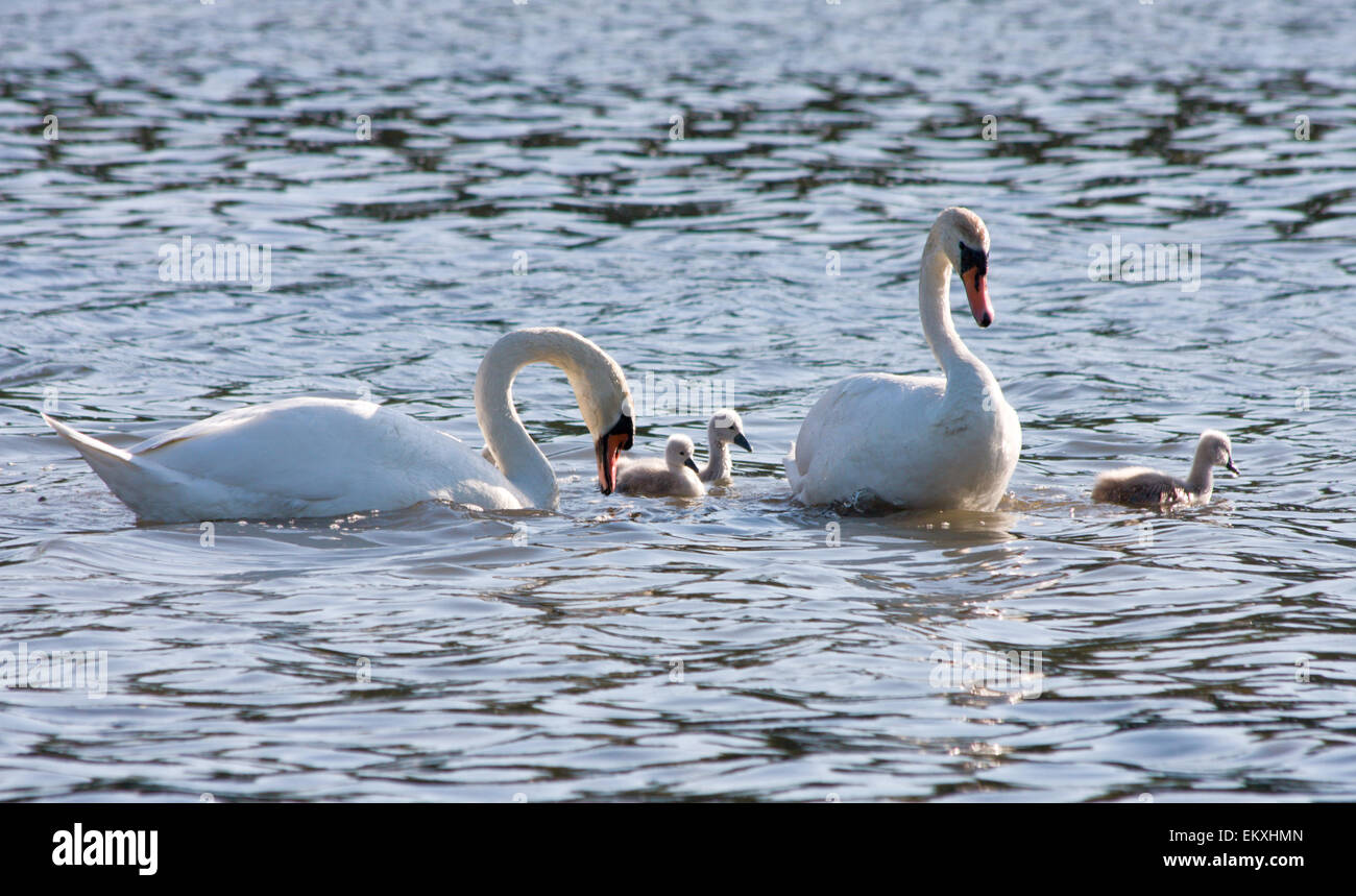 couple of white swans and young cygnets Stock Photo