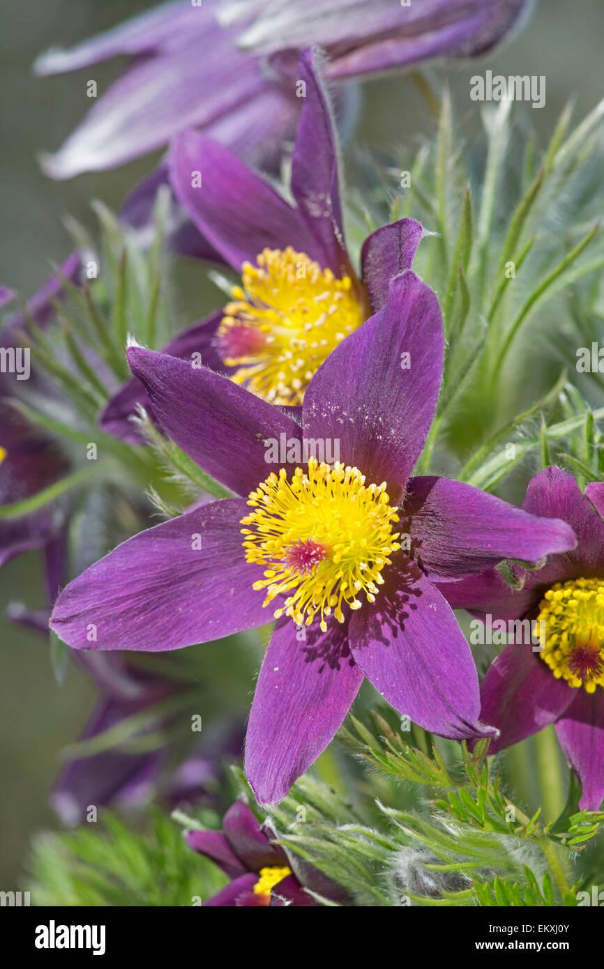 Pasque Flower: Pulsatilla vulgaris. Botanic Garden, Surrey, England - Stock Image