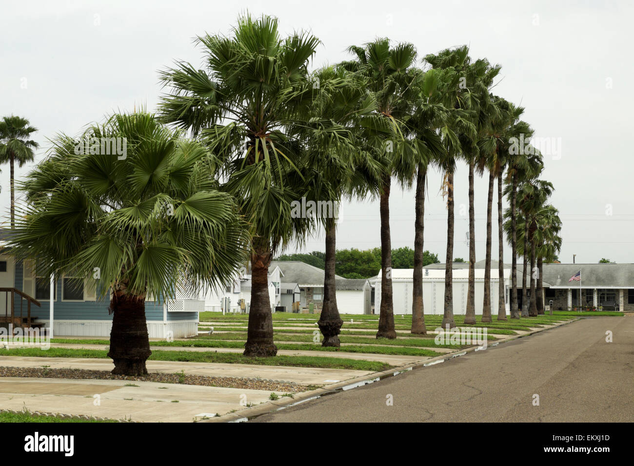 Streetside row of Palm Trees at an RV/Mobile Home Park in south Texas, USA - Stock Image
