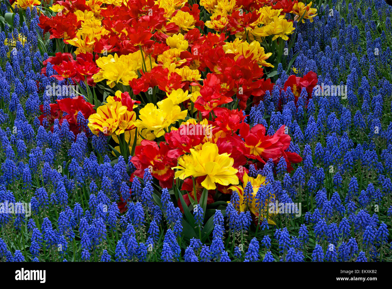 Flower Bed Tulips Hyacinths In Stock Photos & Flower Bed Tulips ...