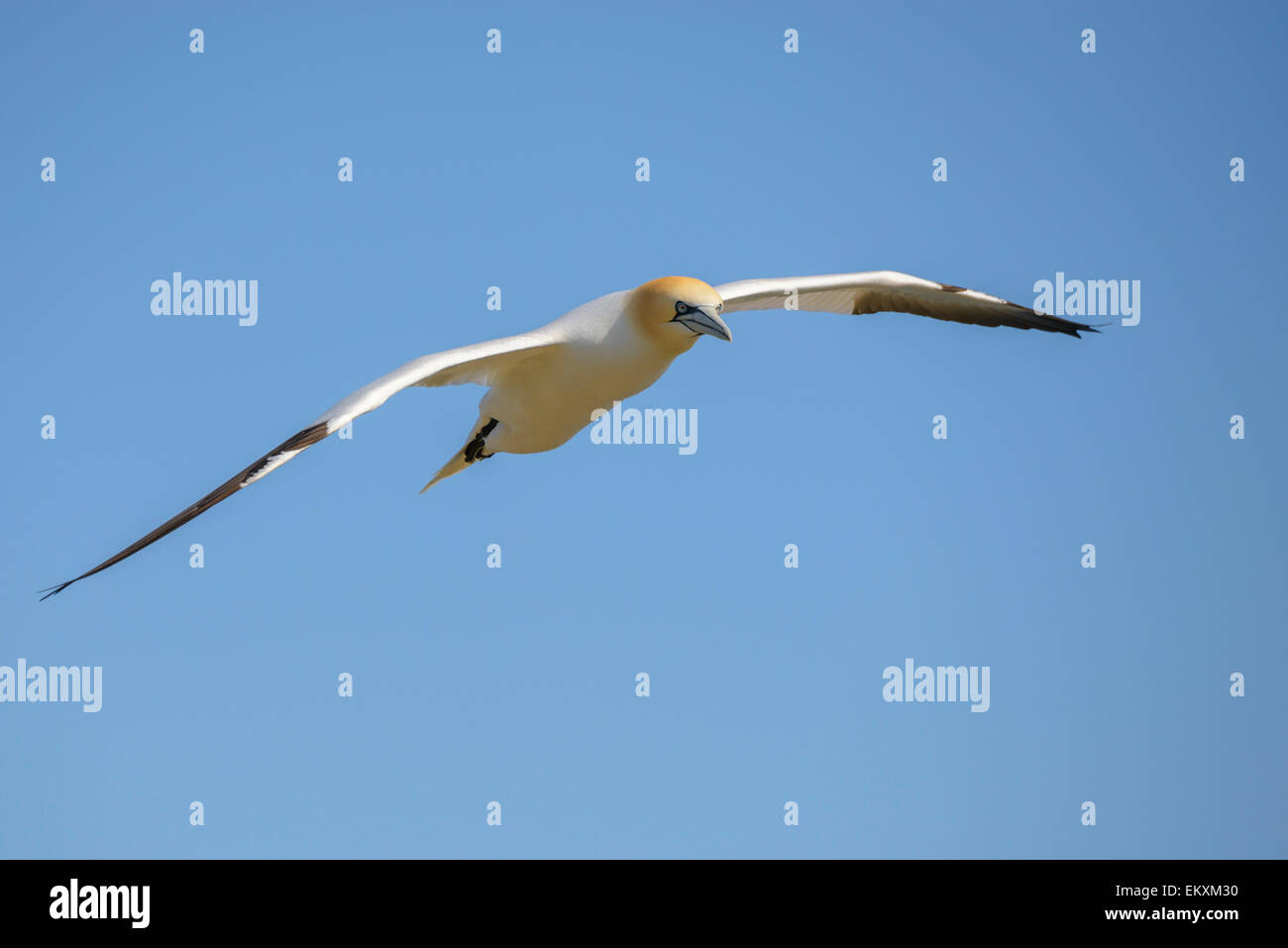 One a northern gannet soaring against a clear blue sky. Horizontal format with copyspace. - Stock Image