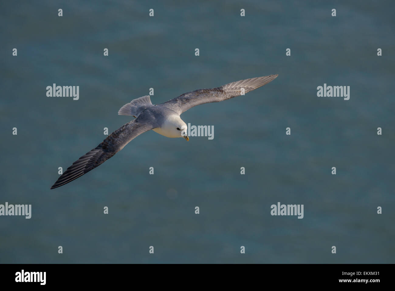 One a northern fulmar with typical stiff-wings, gliding above the North Sea ocean. Horizontal format with copyspace. - Stock Image