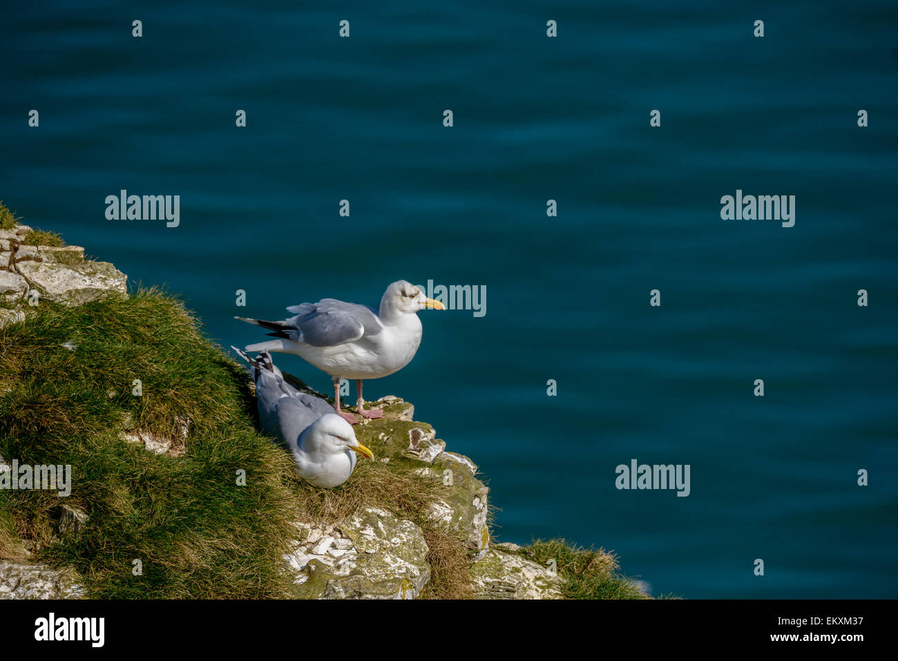 A pair of European herring gulls on a grassy cliff with blue sea ocean behind. Horizontal format with copyspace. - Stock Image