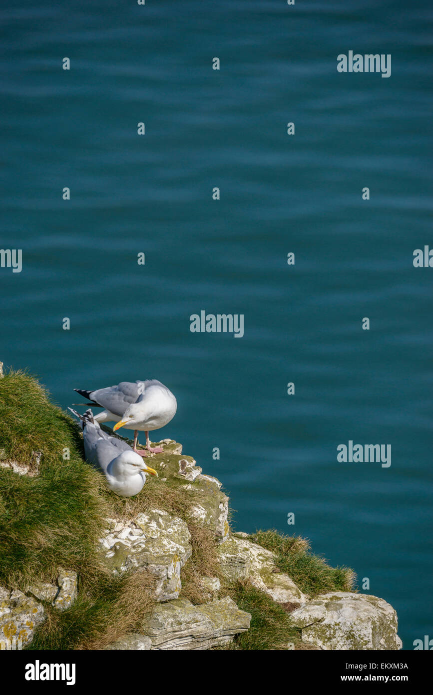 A pair of European herring gulls on a grassy cliff with blue sea ocean behind. Vertical format with copyspace. - Stock Image