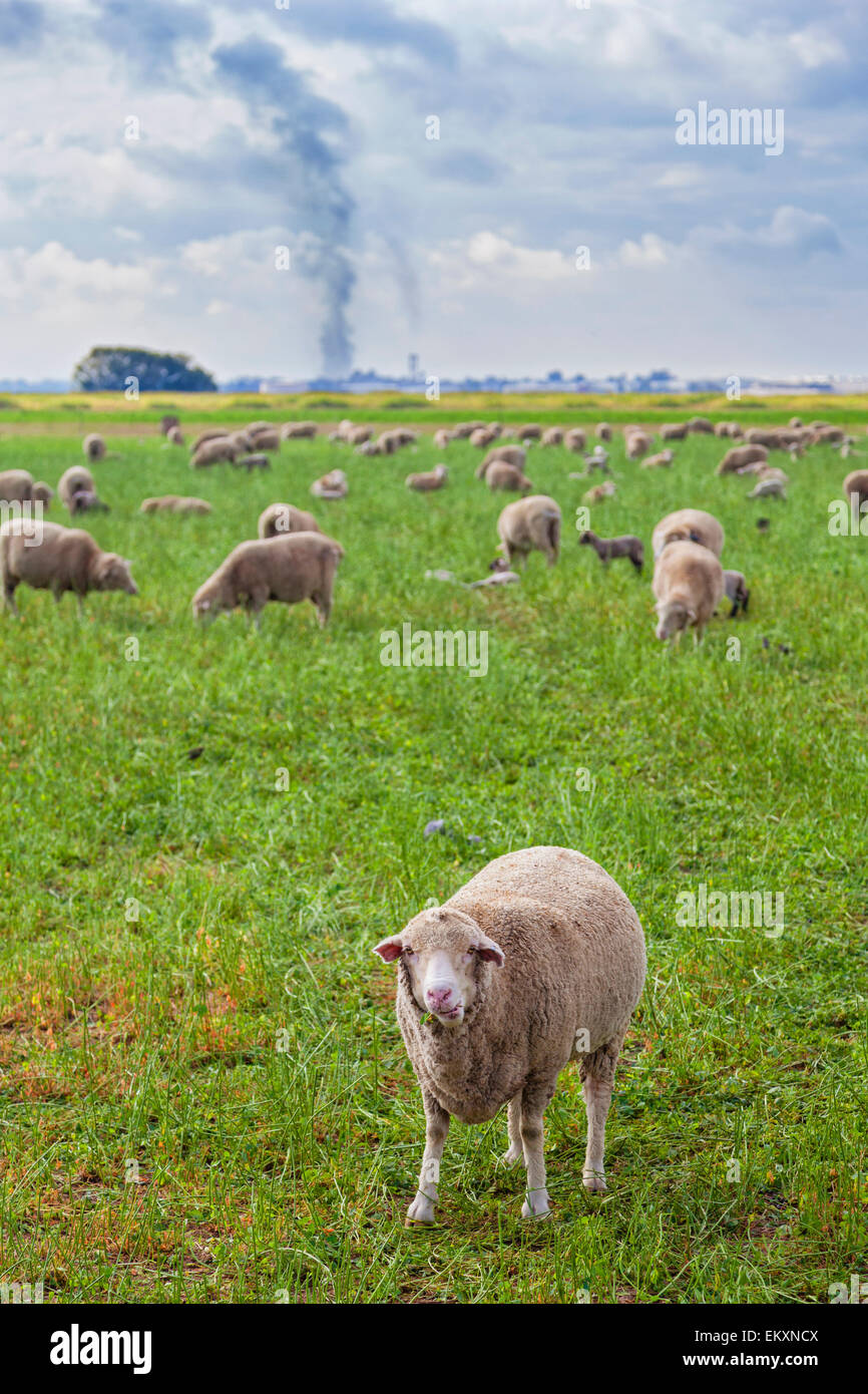 Sheep grazing in field with industrial smoke emissions in background. Delano, Kern County, San Joaquin Valley, California, - Stock Image