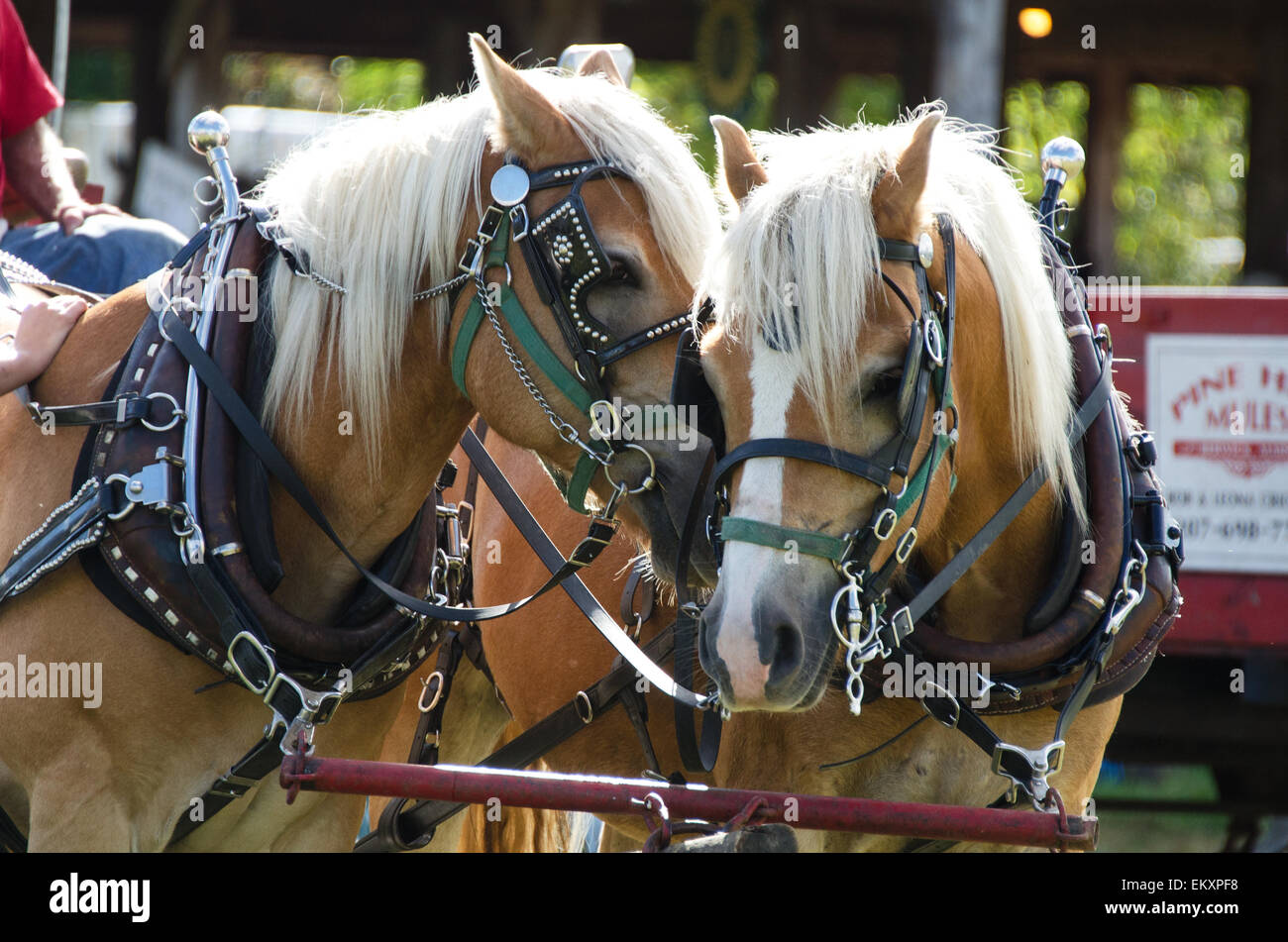 Two Haflinger horses pulling a wagon ride nuzzle each other at the