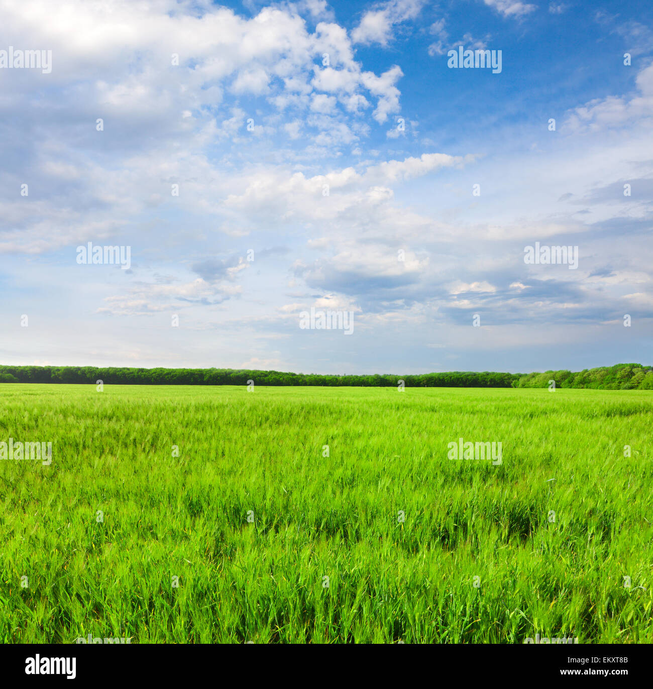 field of green rye and blue cloudy sky - Stock Image