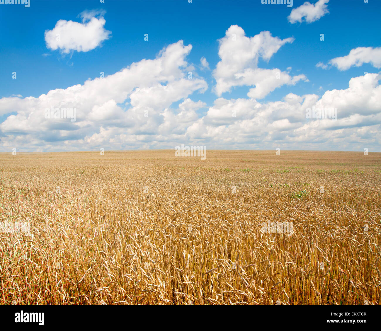 field of wheat and beautiful blue sky - Stock Image