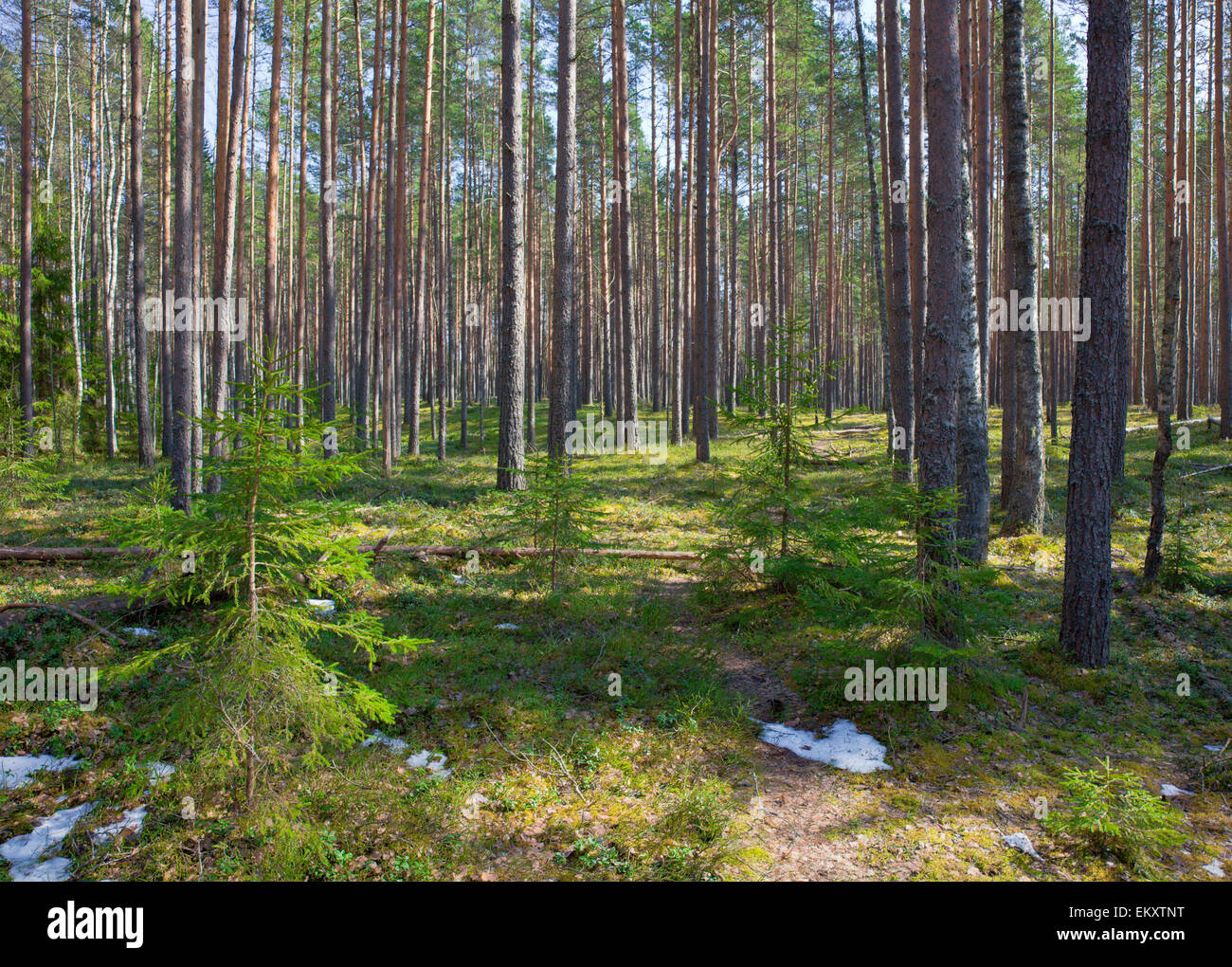 coniferous forest - Stock Image