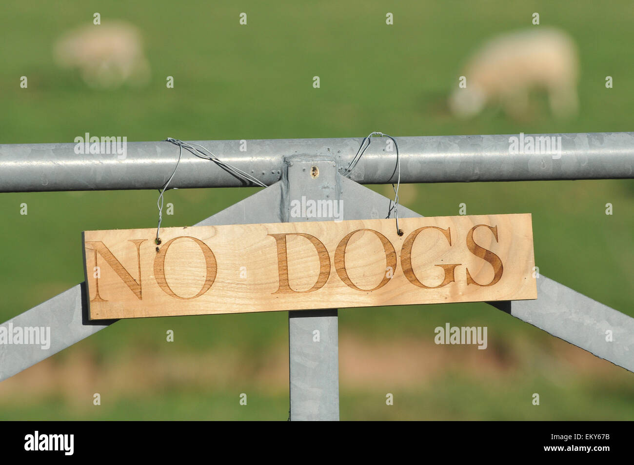 A no dogs sign with sheep in the background. - Stock Image