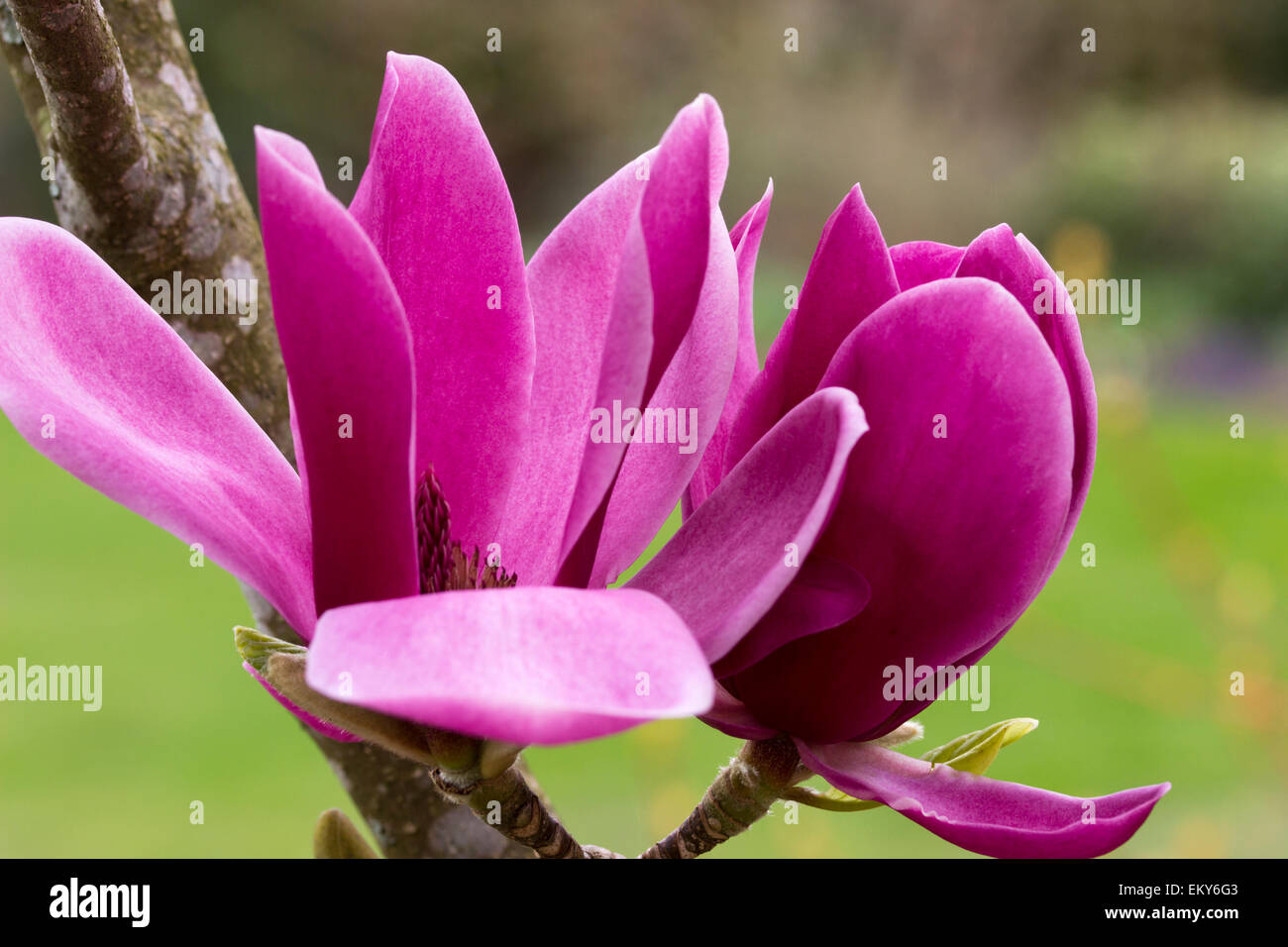 Deep Pink Flowers Of The New Zealand Bred Magnolia Shirazz Stock