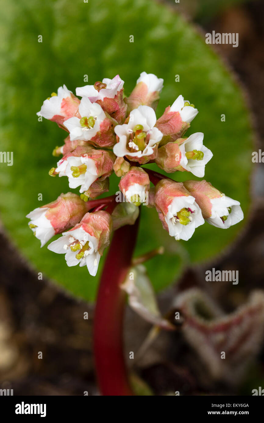 Early spring flowers of the deciduous, hairy leaved perennial, Bergenia ciliata - Stock Image