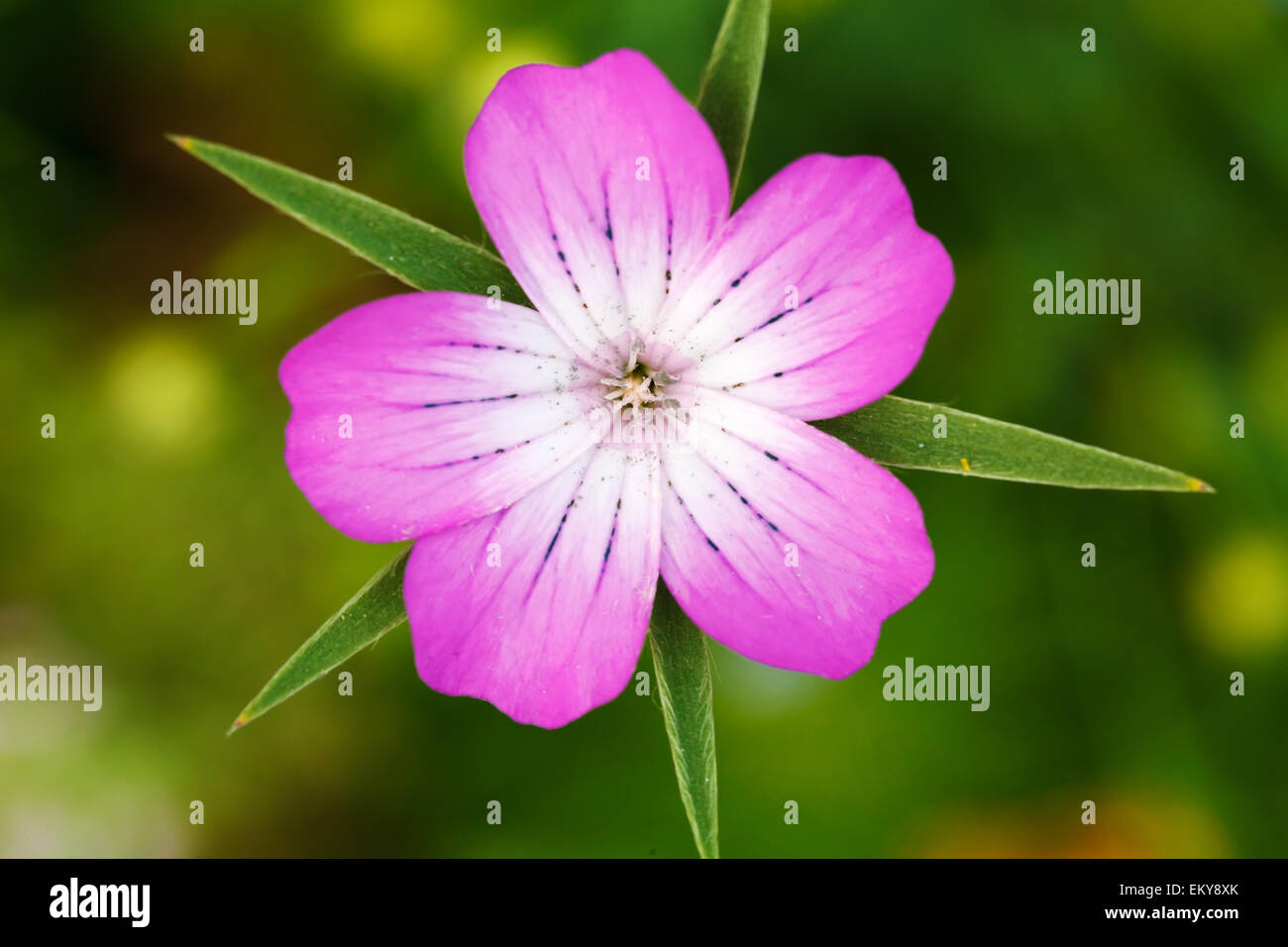 Flower With Five Petals Stock Photos Amp Flower With Five