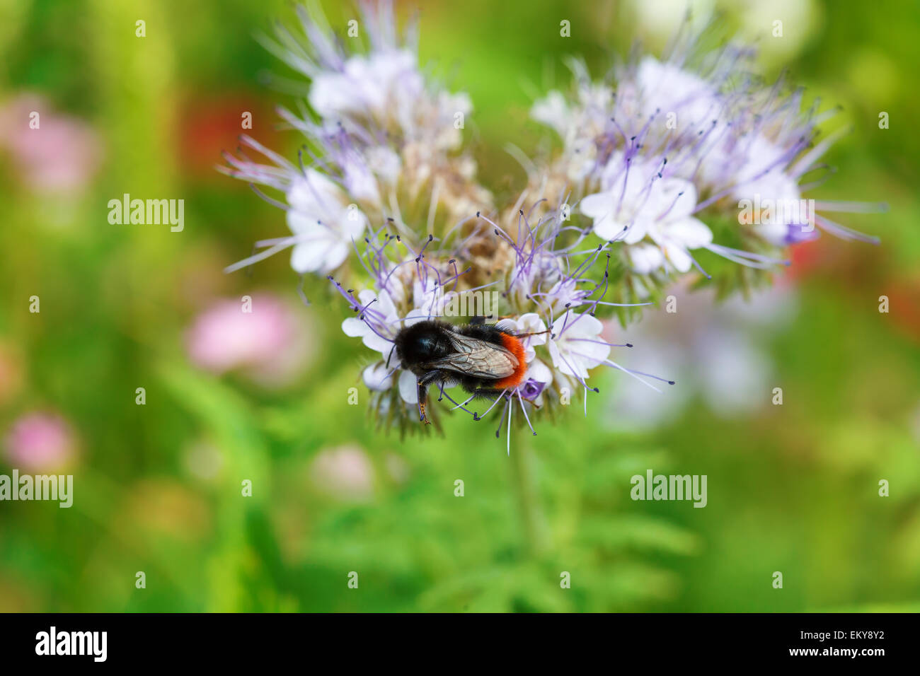 Bee pollinating flower on green meadow, horizontal orientation - Stock Image