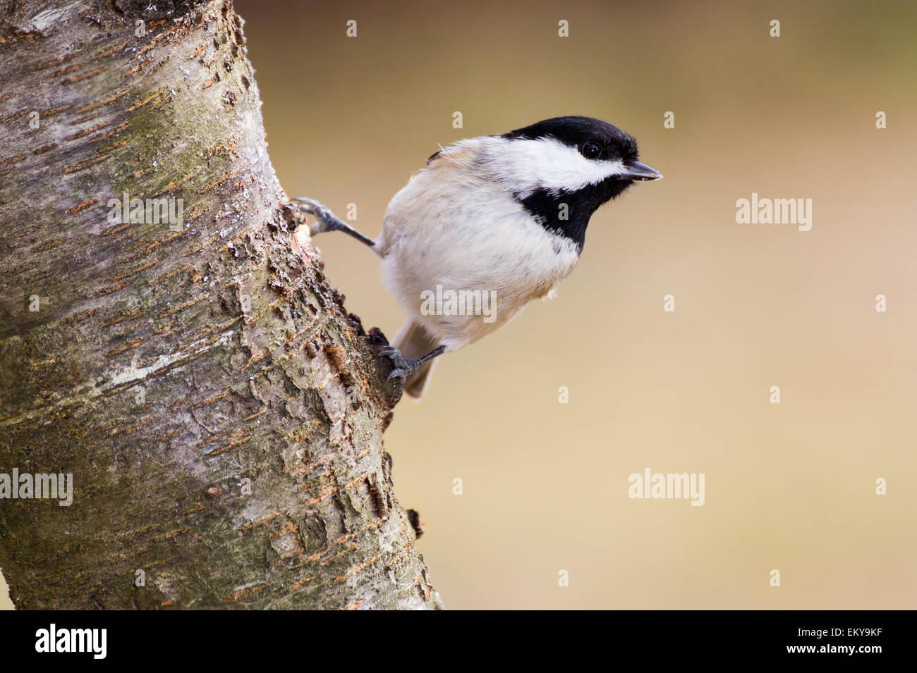 A Carolina chickadee hanging off a mountain ash tree. - Stock Image