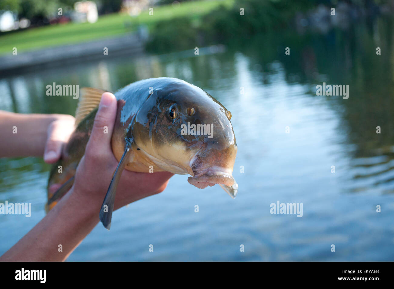 Fish photographed at the Riverfront Park in Spokane, Spokane County, WA, USA. - Stock Image