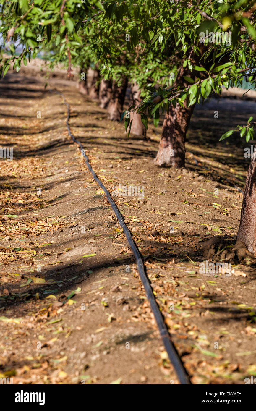 Drip Irrigation Being Used To Water Almond Trees Rod