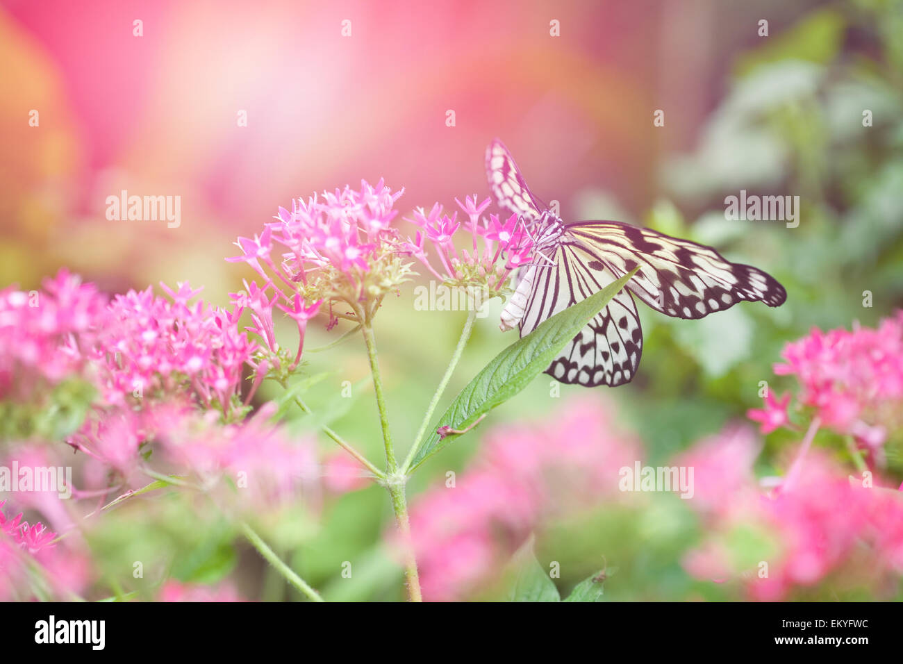 Beautiful paper kite butterfly tree stock photos beautiful paper beautiful paper kite butterfly tree nymph collecting nectar from pink flowers against the evening mightylinksfo