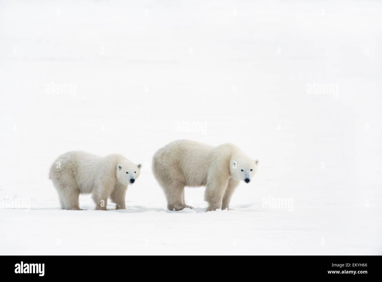 Polar Bear (Ursus Maritimus) Sow And Yearling Cub Walking Across The Frozen Tundra; Churchill, Manitoba, Canada Stock Photo