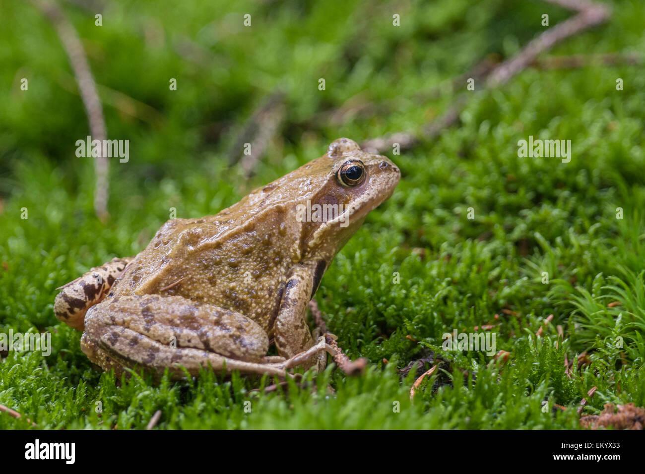 Common frog (Rana temporaria), Thuringia, Germany - Stock Image