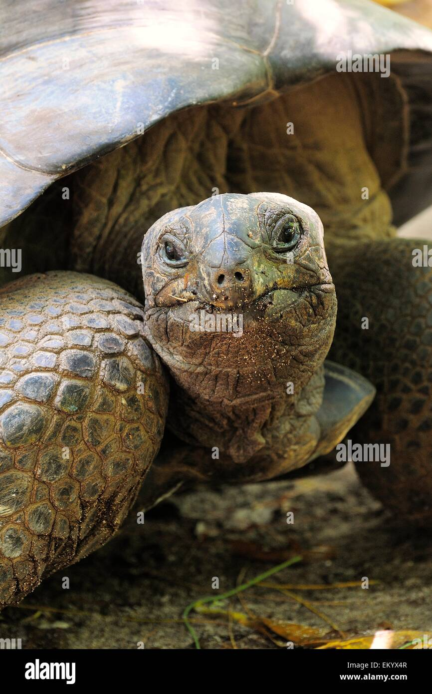 Aldabra Giant Tortoise (Aldabrachelys gigantea), Curieuse Island, Seychelles - Stock Image