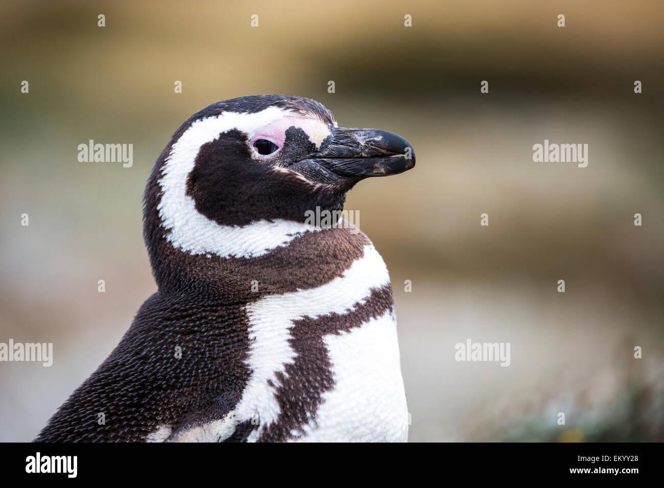Magellanic penguin (Spheniscus magellanicus), Seno Otway, Region XII Región de Magallanes y de la Antártica, - Stock Image