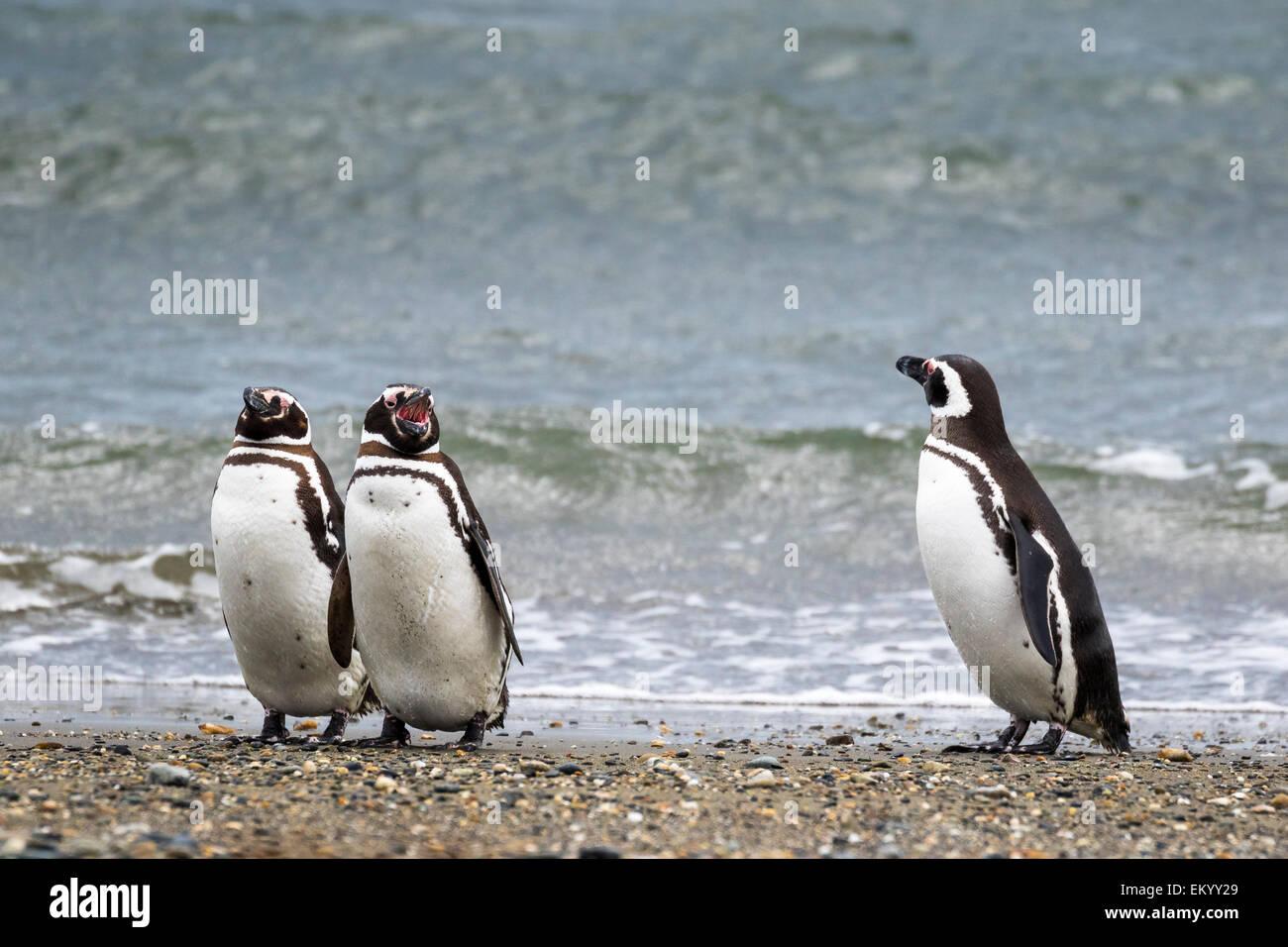 Magellanic penguins (Spheniscus magellanicus), Seno Otway, Region XII Región de Magallanes y de la Antártica, - Stock Image