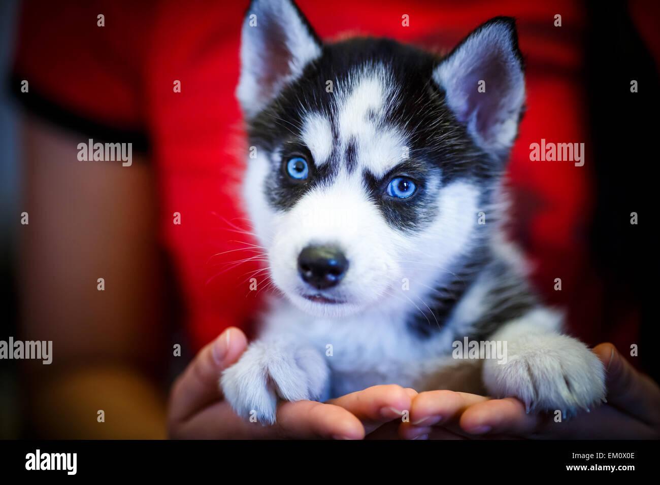 Siberian Husky Dog Blue Eyes Stock Photos Siberian Husky Dog Blue