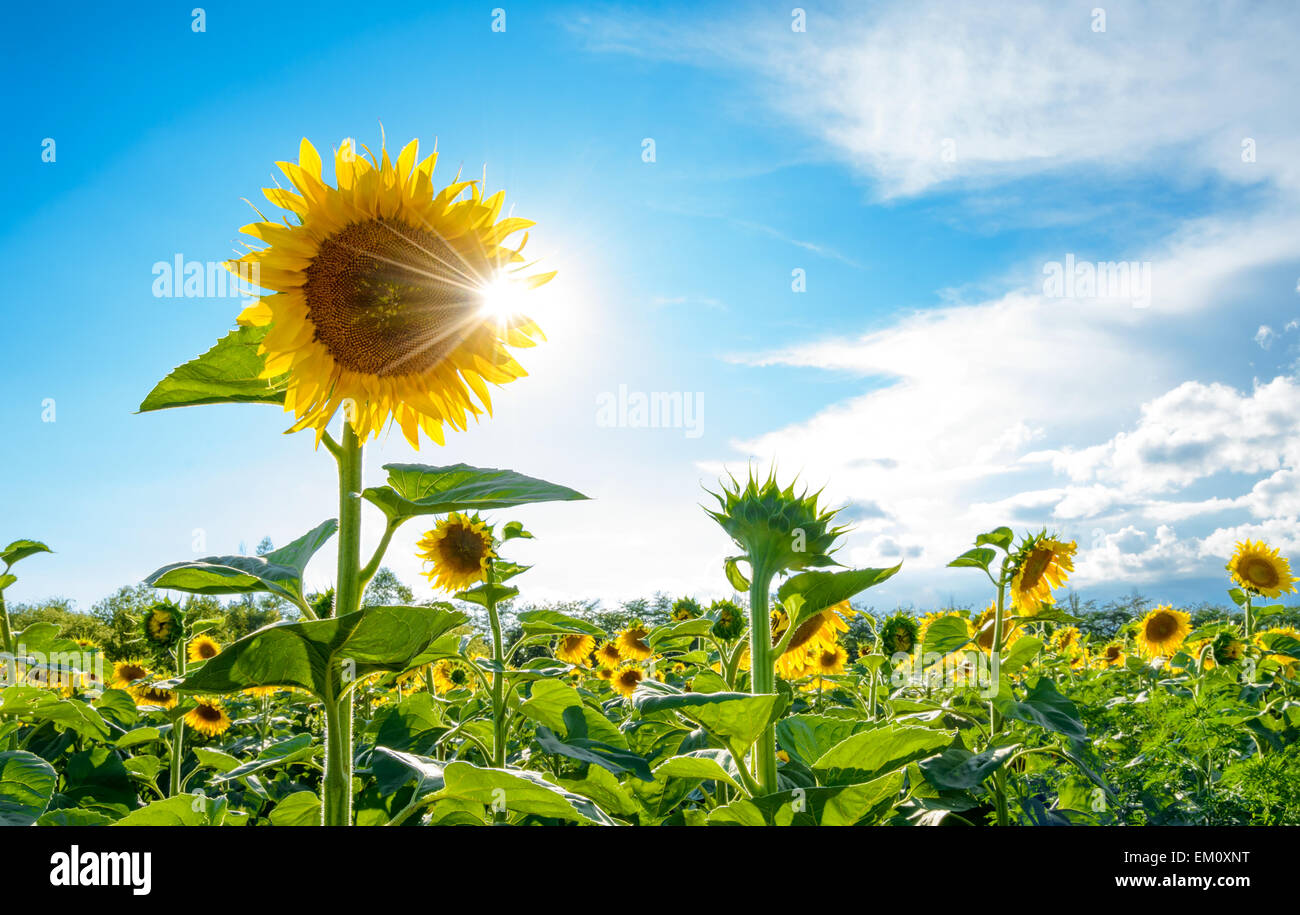 Bright Sun Shines Through the Petals of Beautiful Sunflower - Stock Image