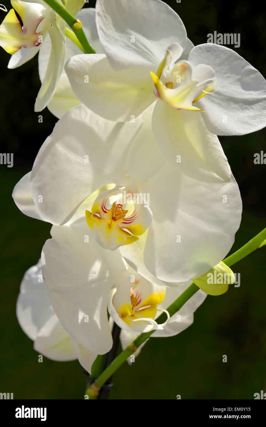 White Orchid Flowers Sometimes Called Moth Orchid Phalaenopsis