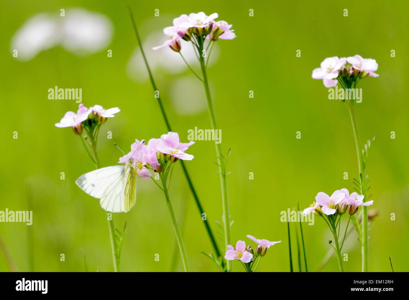 Pieris Napi on flowers - Stock Image