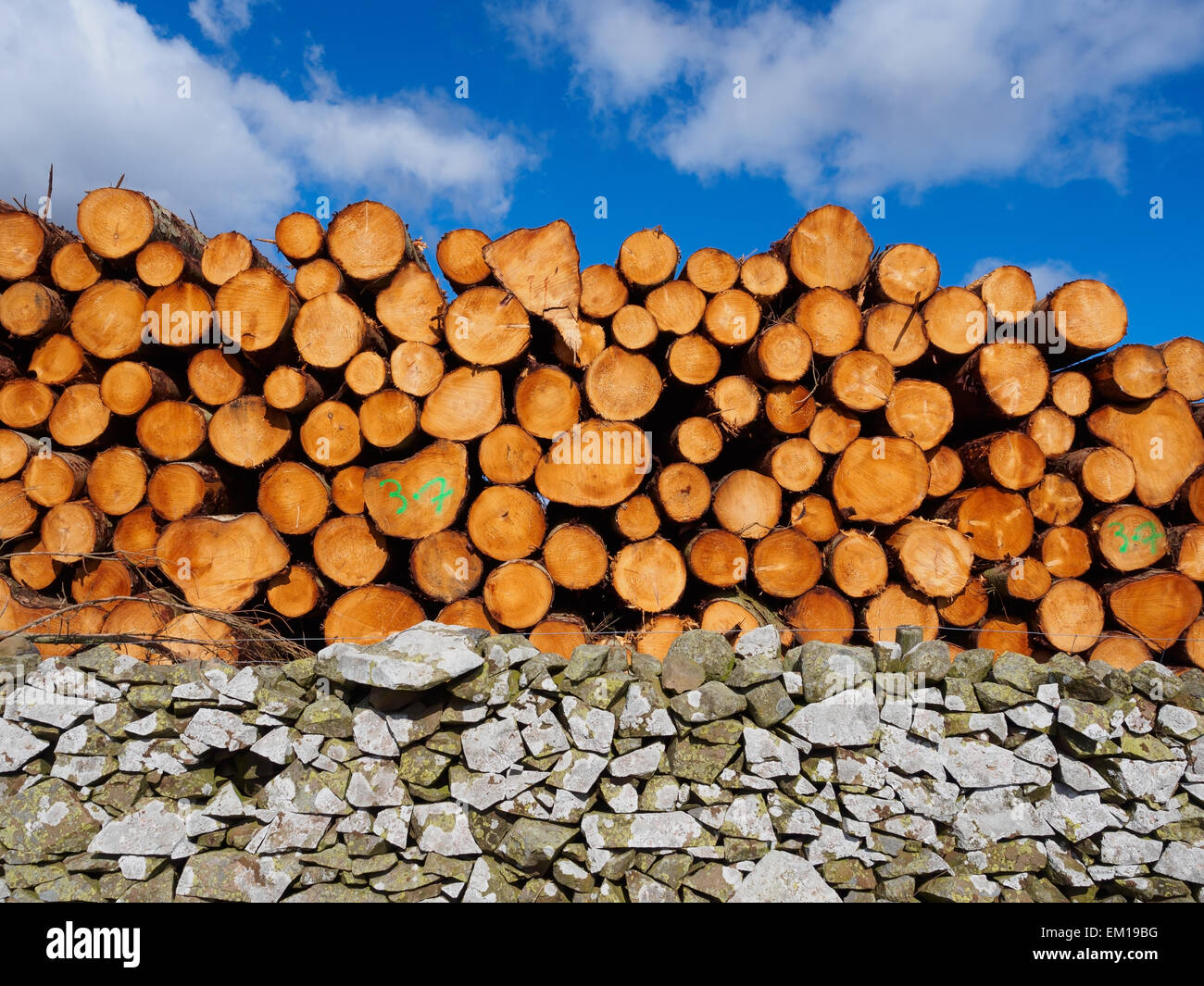 Pile of freshly cut logs and and old stone hedge in a forestry in the Scottish Borders, Scotland. - Stock Image