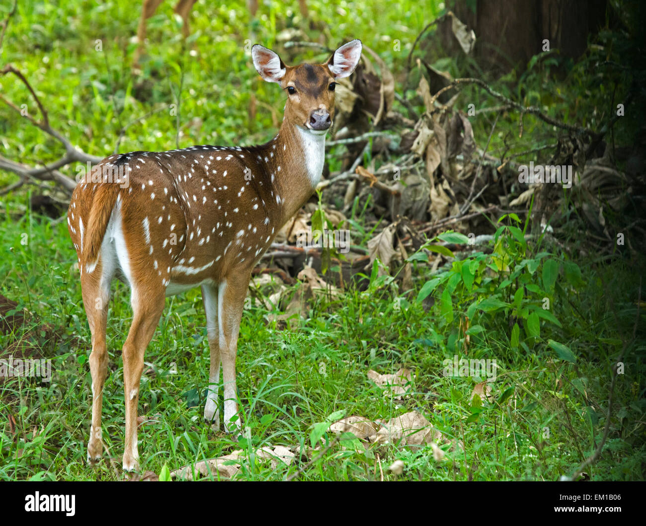 Spotted Deer, Cervus axis, Axishirsch, young deer in south indian forest - Stock Image