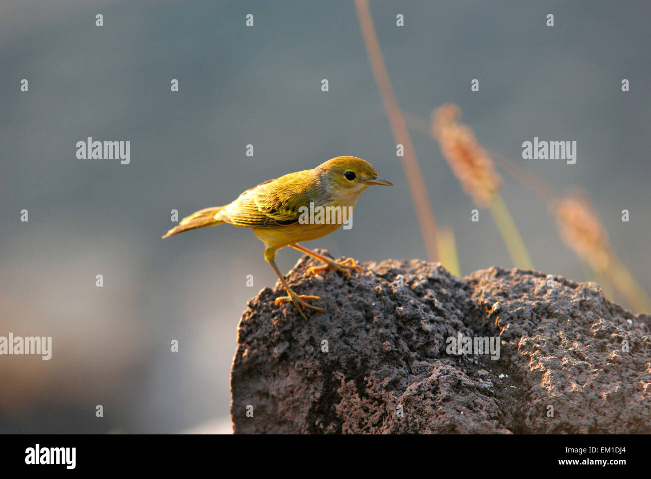 Galapagos Darwin finch bird, Galapagos Islands, Ecuador, South America - Stock Image