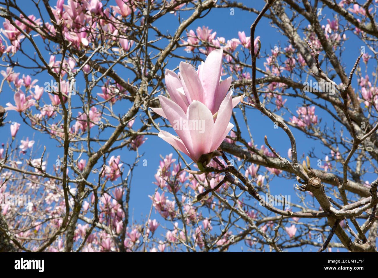 Magnolia tree in flower cornwall stock photos magnolia tree in large pink flowers of magnolia tree at pinetum park st austell cornwall on a spring day mightylinksfo