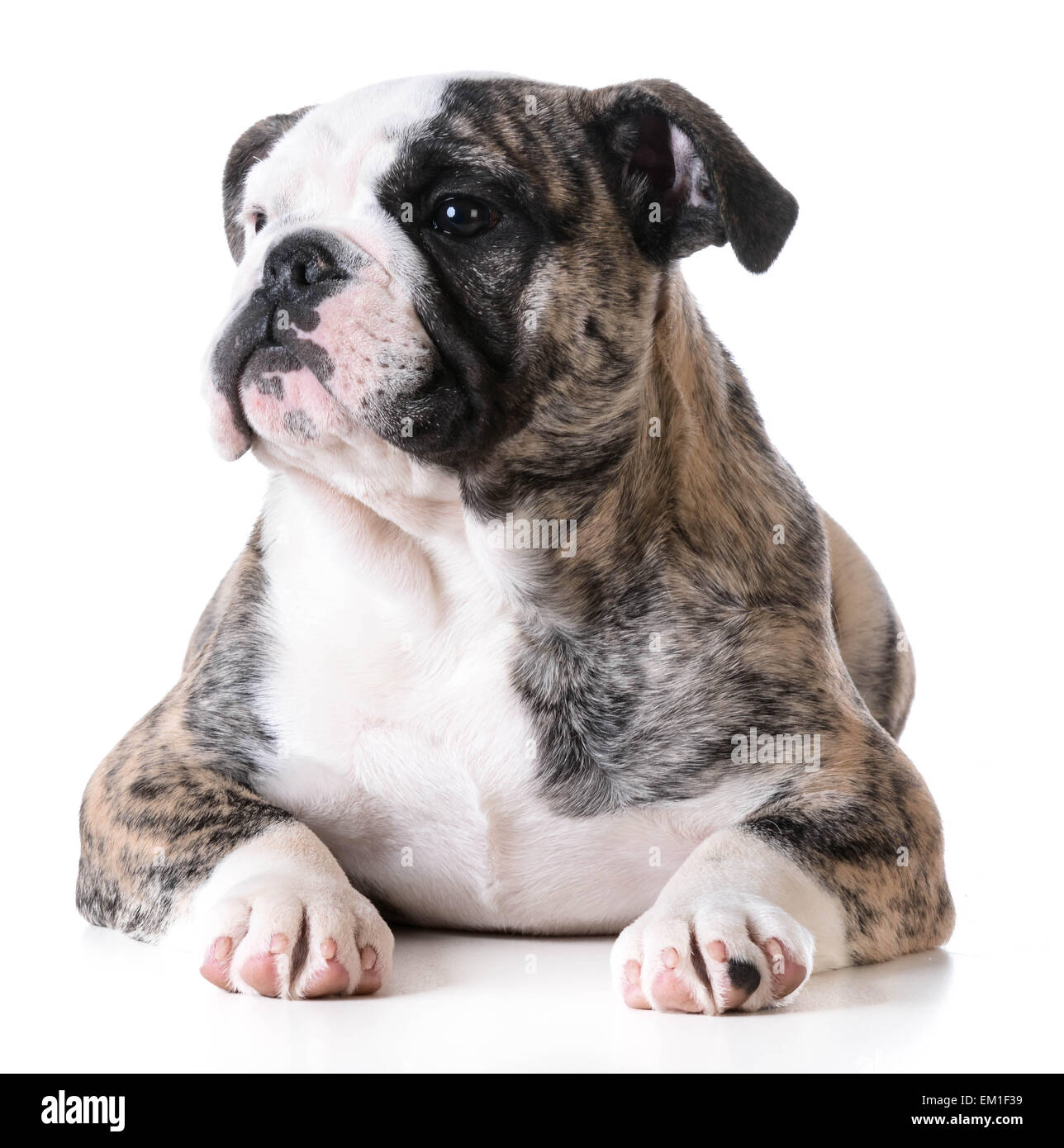 cute puppy - bulldog puppy female laying down on white background - Stock Image