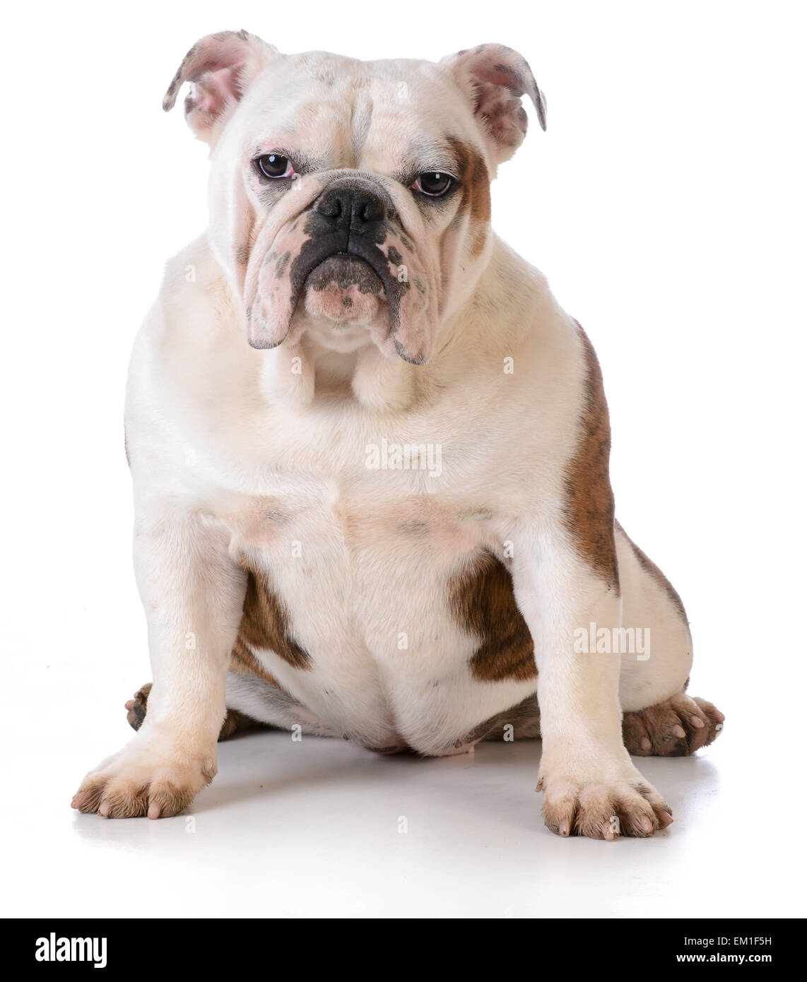 dog with muddy feet - bulldog sitting on white background - Stock Image