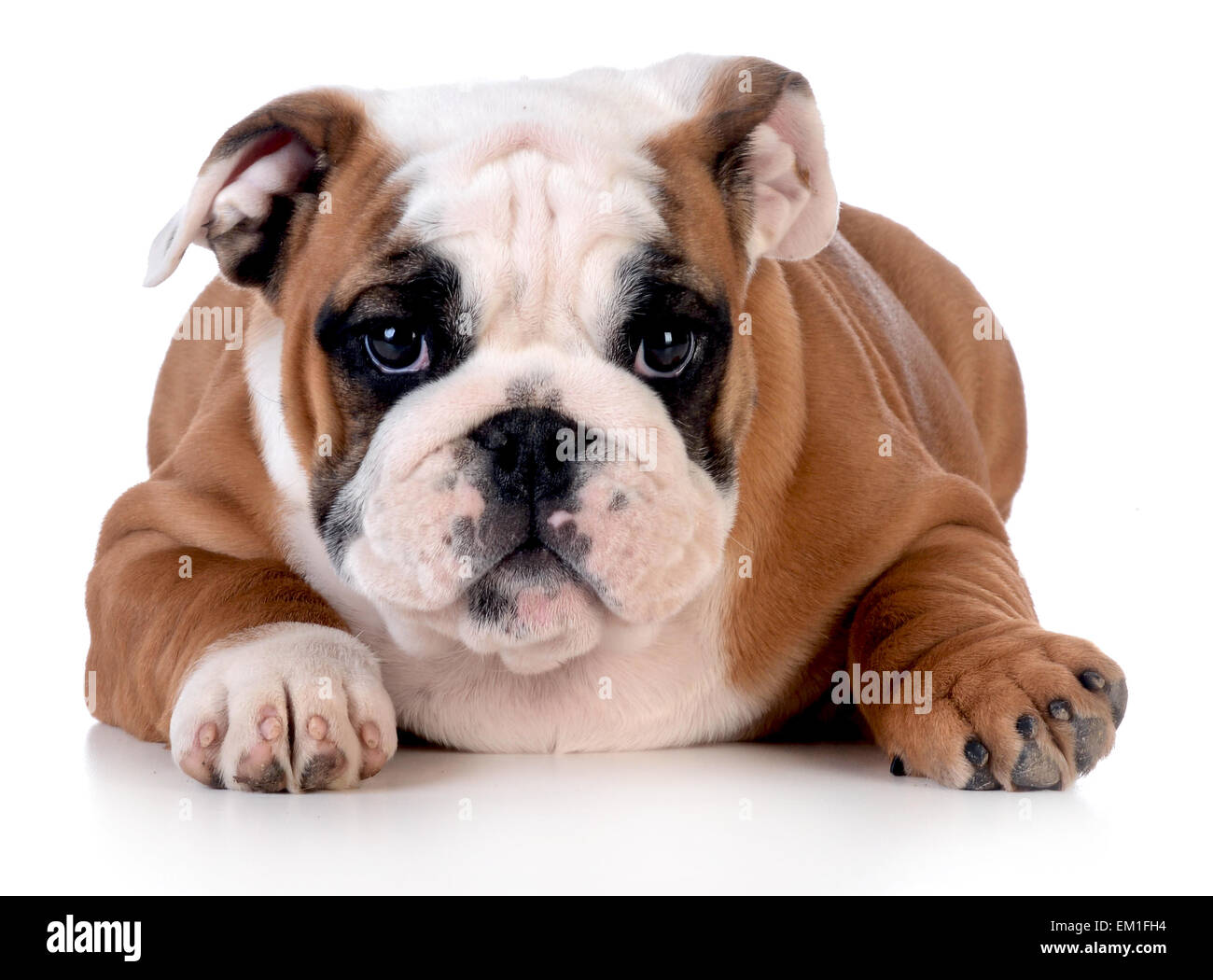 bulldog puppy laying down looking at viewer on white background - 12 weeks old - Stock Image