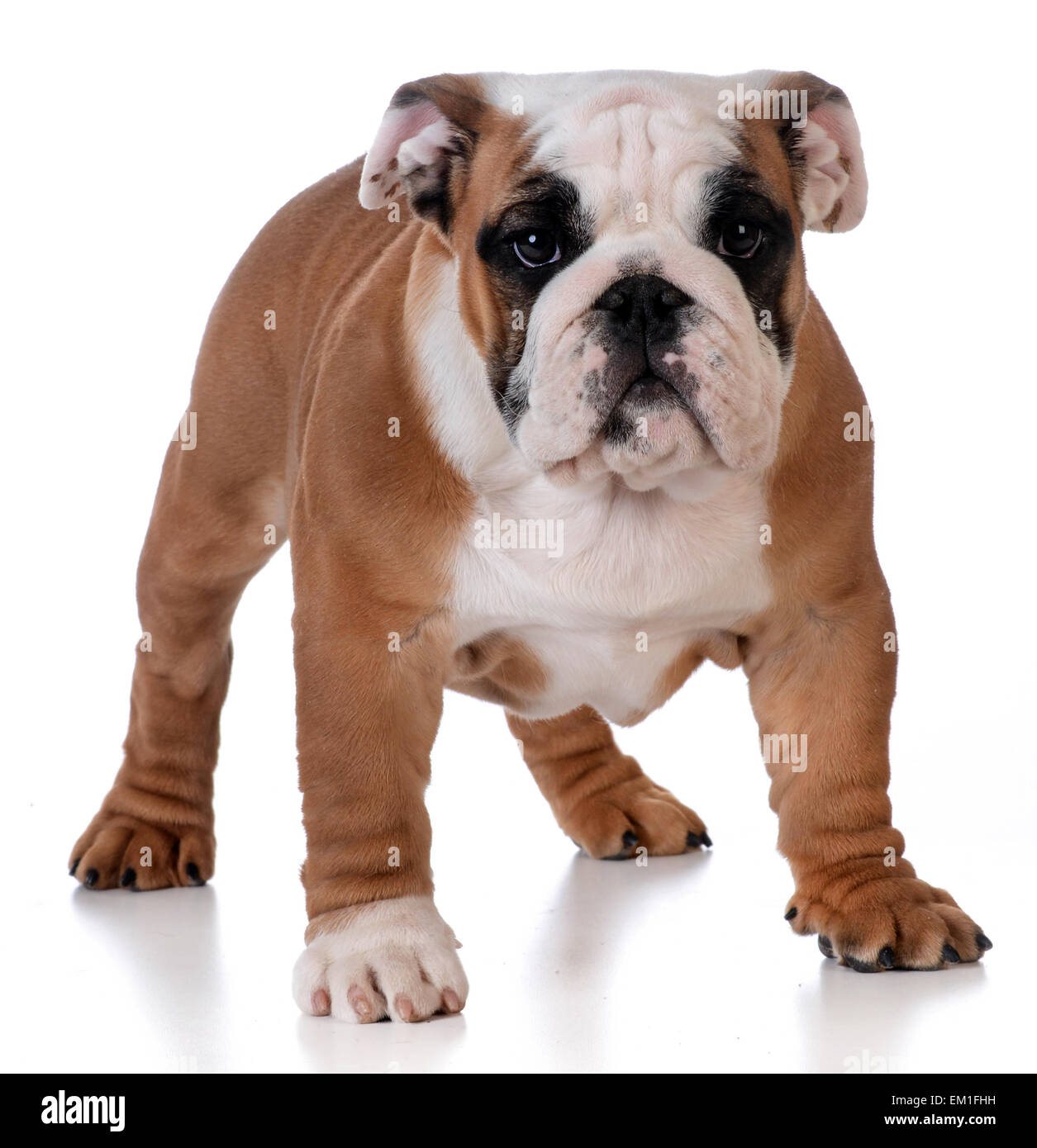 bulldog puppy standing looking at viewer on white background - Stock Image