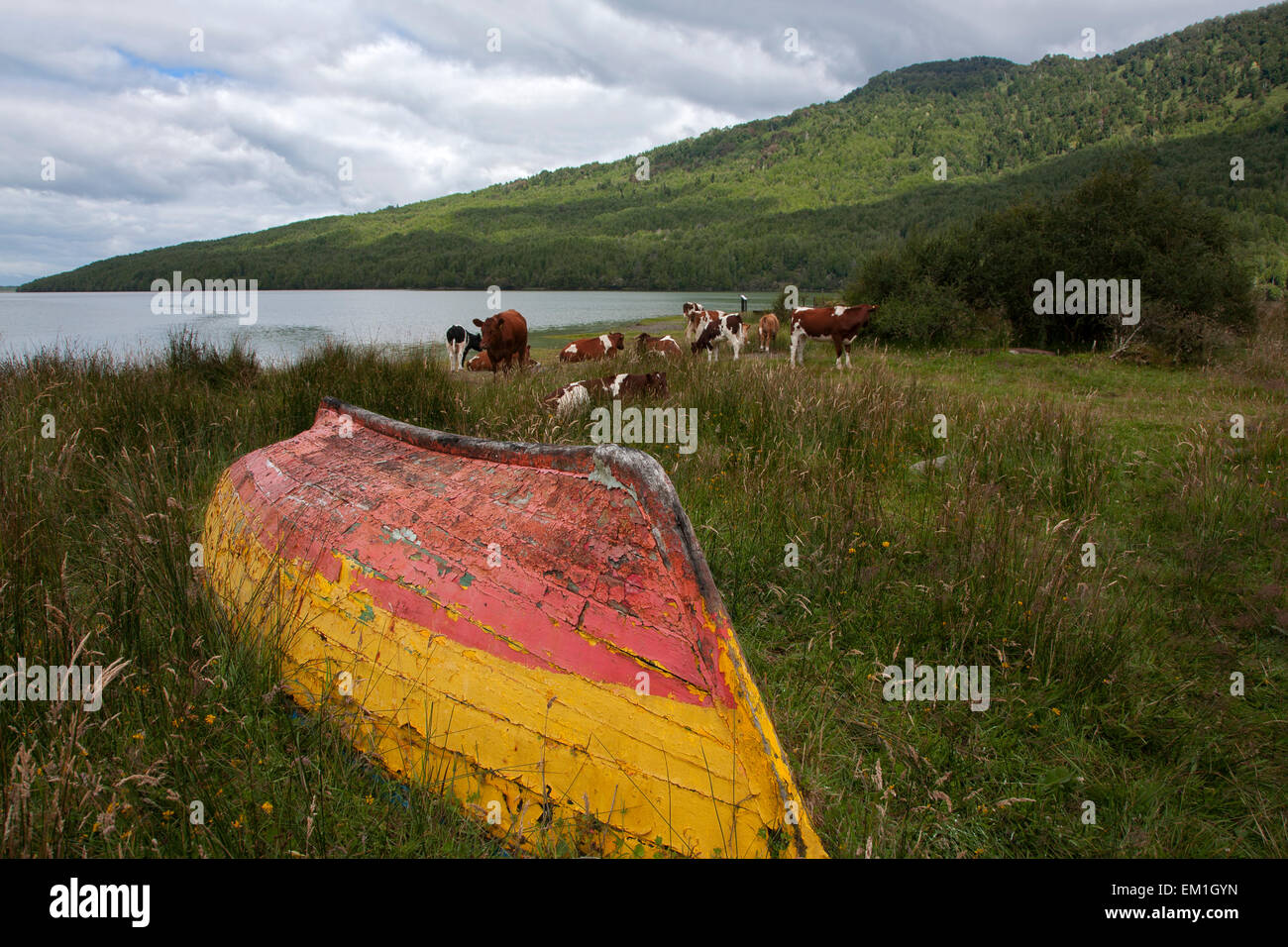 Old wooden boat and cows. Puyuhuapi. Aysén Province. Chile - Stock Image