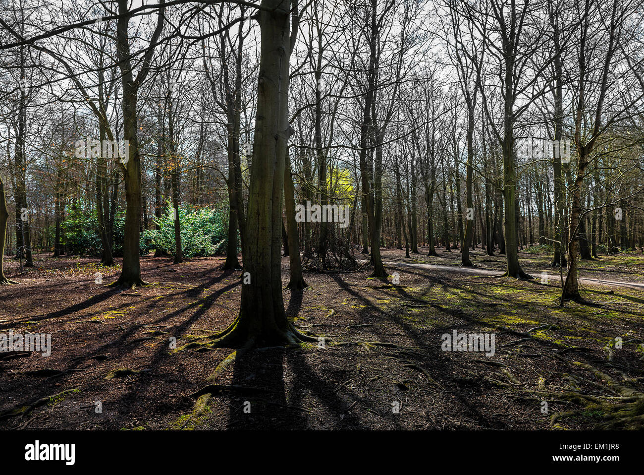 Thorndon Park woodland in Essex. - Stock Image
