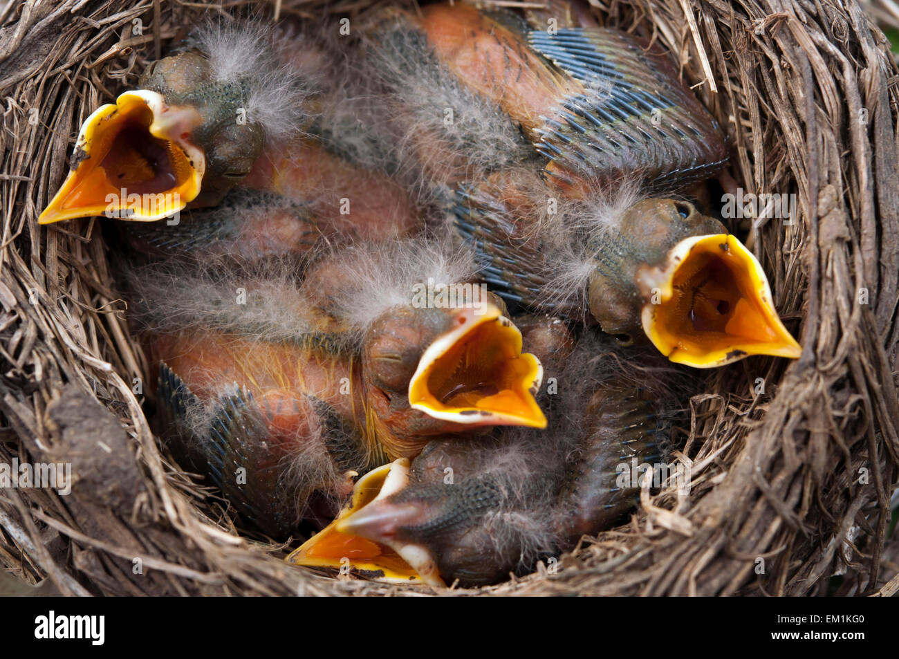 Four baby birds mouth open - Stock Image