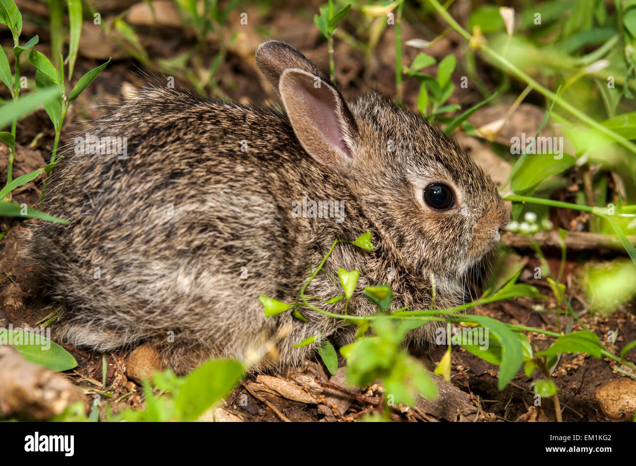 Baby bunny rabbit in grass - Stock Image