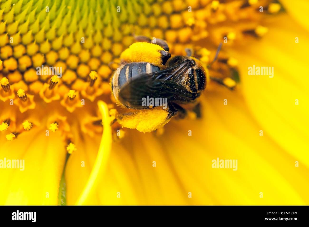 Bumblebee pollen Sunflower - Stock Image