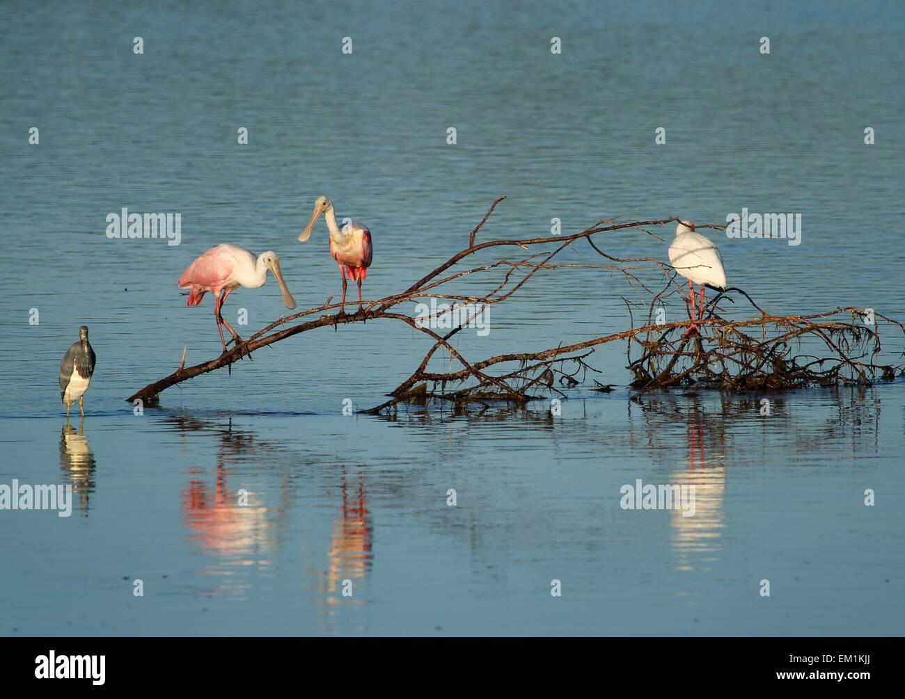 Roseate Spoonbills at Ding Darling National Wildlife Refuge - Stock Image