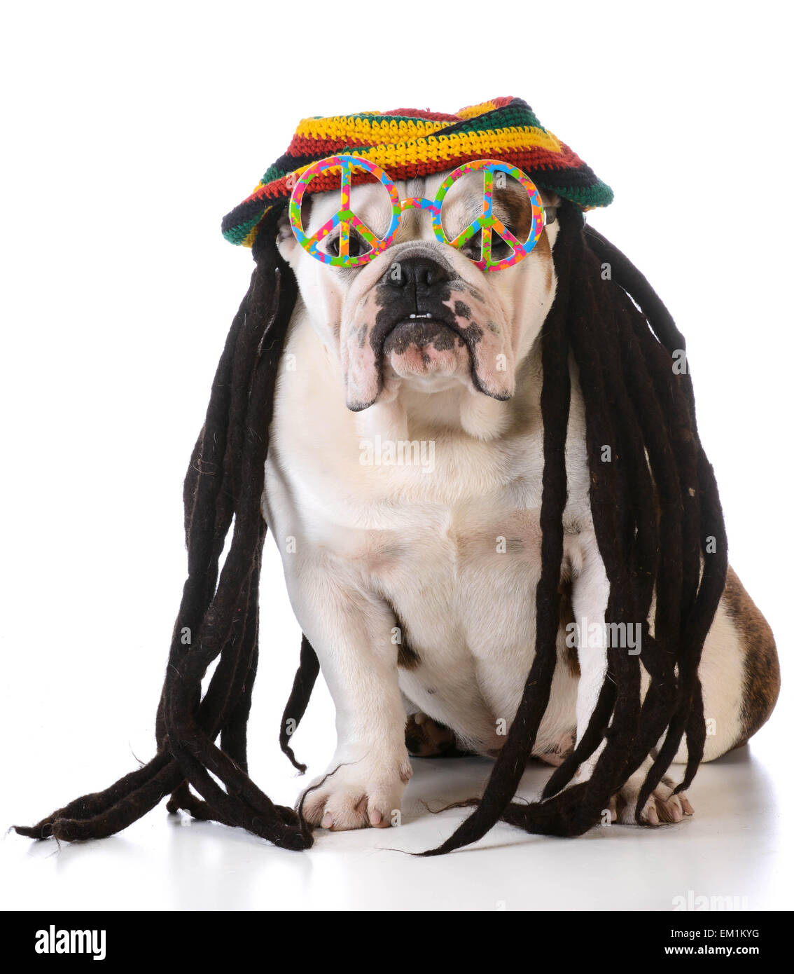 funny dog with dreadlock wig and peace glasses on white background - Stock Image