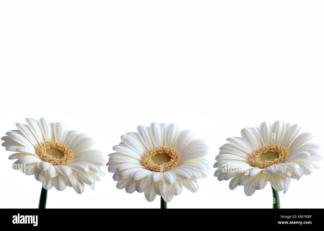 White daisy border stock photos white daisy border stock images white daisy border stock image izmirmasajfo
